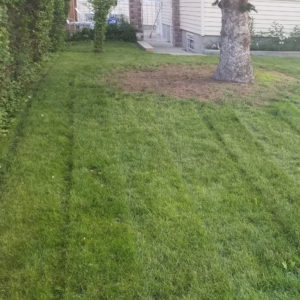 cut lawn in lined pattern with tree in corner