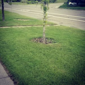 tree in the middle of a newly cut lawn